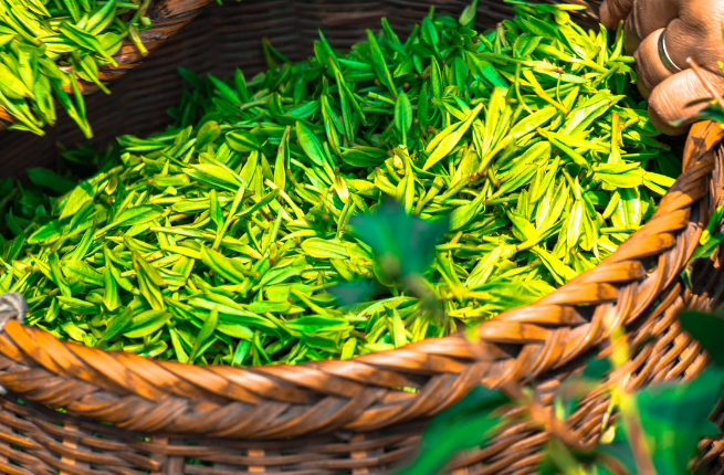 witte thee gezond Camellia Sinensis(1)